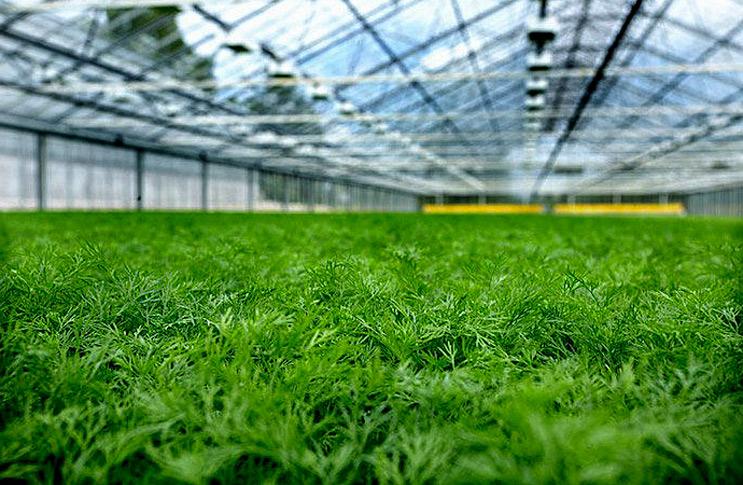 Как выращивать зелень в теплице для бизнеса