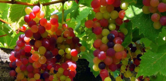 Гибриды винограда