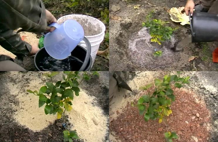 Когда можно сажать голубику садовую