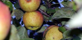 Дерево яблони память Сюбаровой