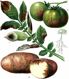 Фитофтора на томатах и картофеле