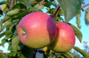Сорт яблок Память Сюбаровой
