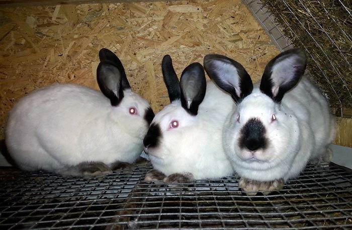 Выращивание кроликов в калифорнийских 134
