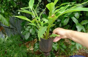 Растение кардамона