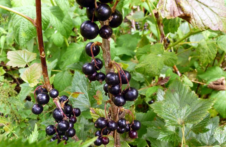 Размножение смородины черенками осенью