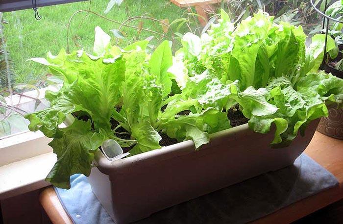 Выращивание салата в сентябре 83