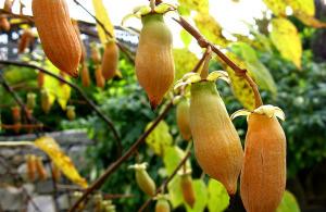 Плоды полигамной актинидии