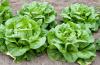 ыращивание, разновидности и полезные свойства салата