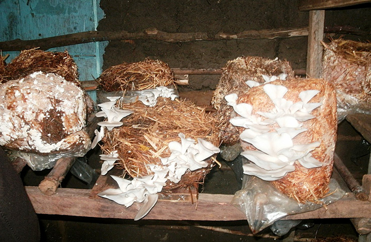 Как выращивать грибы вёшенки в домашних условиях