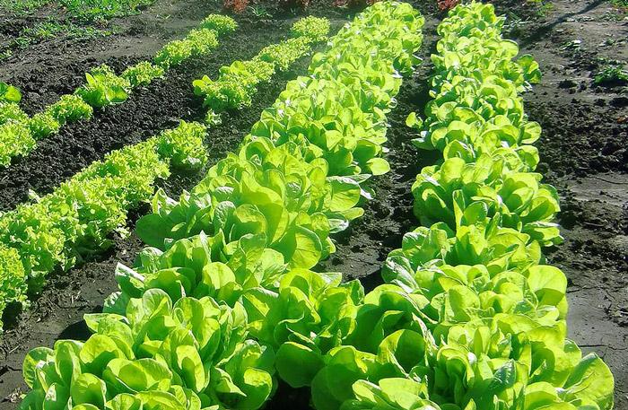 Все о выращивании салата 95