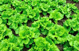 Выращивание латука