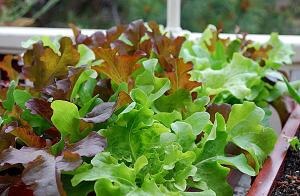 Есть различные виды салата