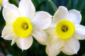 Бело-желтые нарциссы