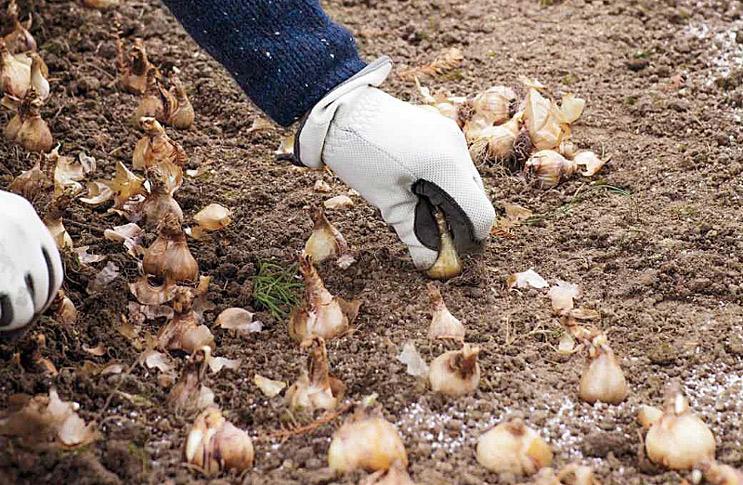 Какие луковичные сажают под зиму 26