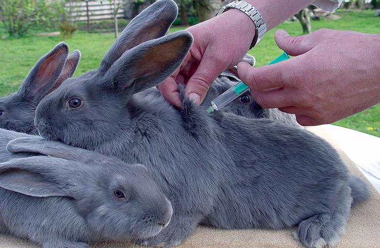 Лечение миксоматоза у кроликов в домашних условиях 205