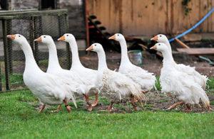 Какие породы гусей выбрать