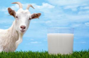 Полезные свойства козьего молока