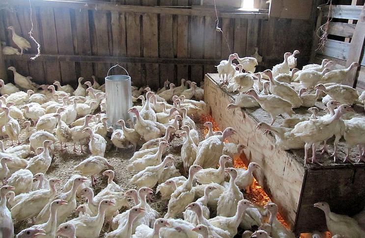Технология выращивания индюков на мясо 76
