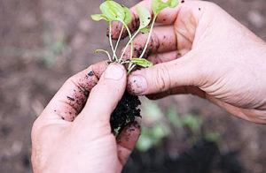 Как выращивать рассаду