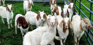 Содержание коз в домашних условиях для начинающих