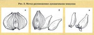 Метод размножения луковичными чешуями