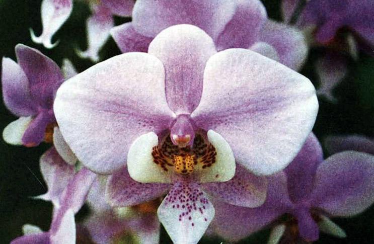 Орхидея на окошке