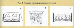 Посадка препарированных луковиц