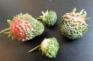 Семена на клубнике