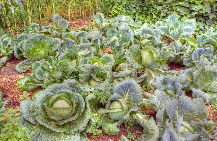 Выращивание капусты белокочанной в открытом грунте