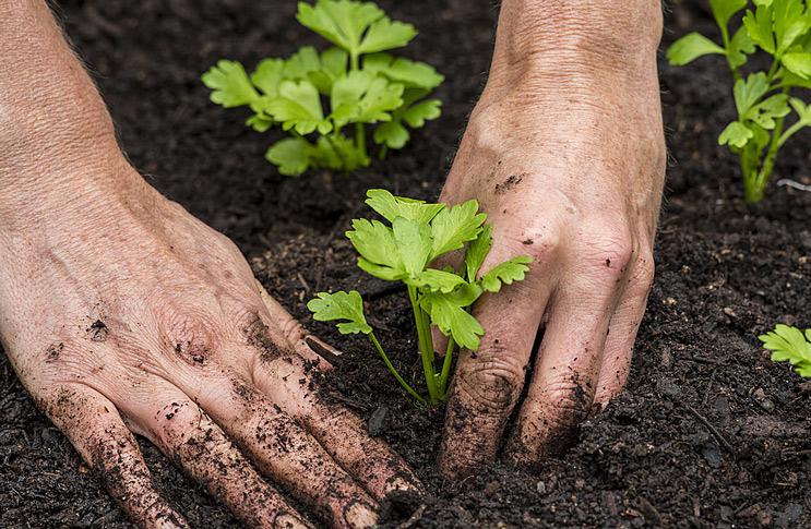 Когда сеять сельдерей корневой на рассаду