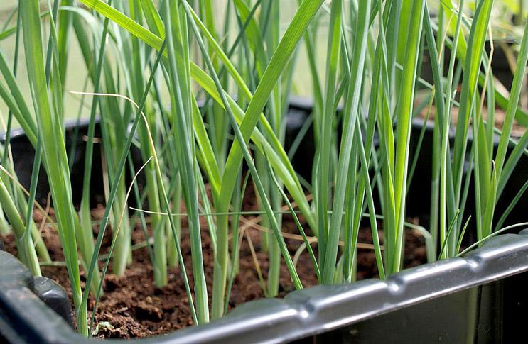 Выращивание лука-порея через рассаду 77