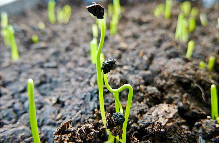 Когда садить лук порей на рассаду 90