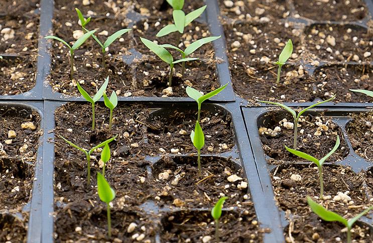 Можно ли сажать перец из своих семян 916