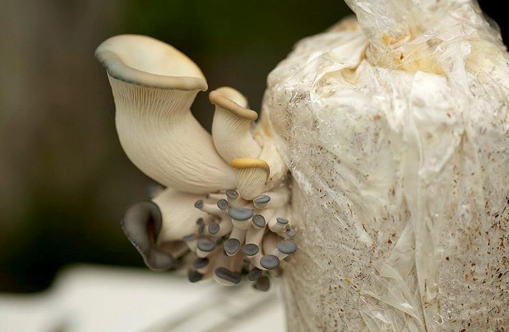 Как следует правильно выращивать грибы