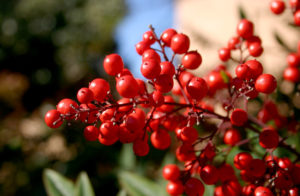 Клюква: выращивание кустарника и уход за ним