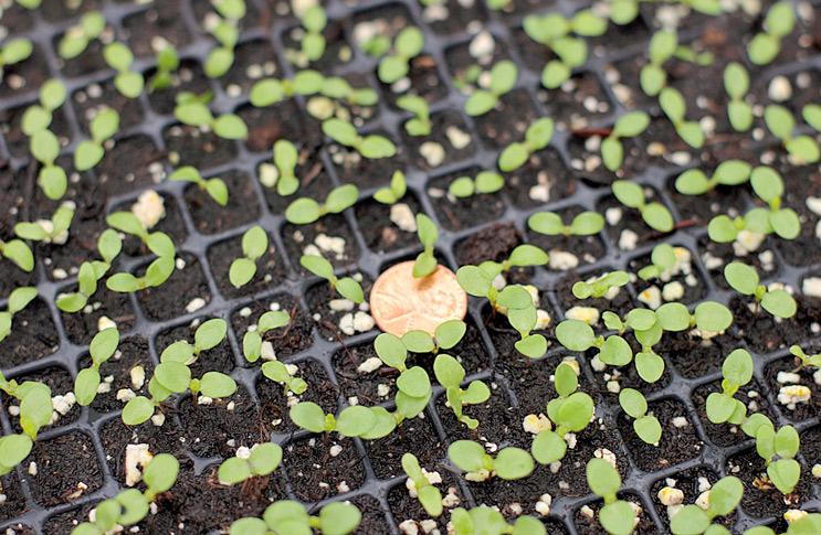 Сажать семена клубники для рассады