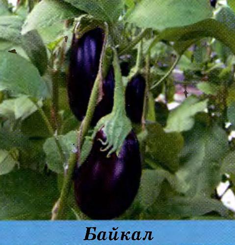 Выращивание баклажанов на дальнем востоке 31