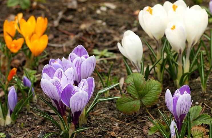 Крокусы цветов рассада когда