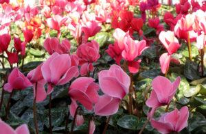 Цветы цикламены