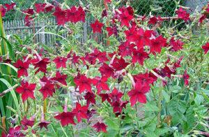 Цветы душистого табака