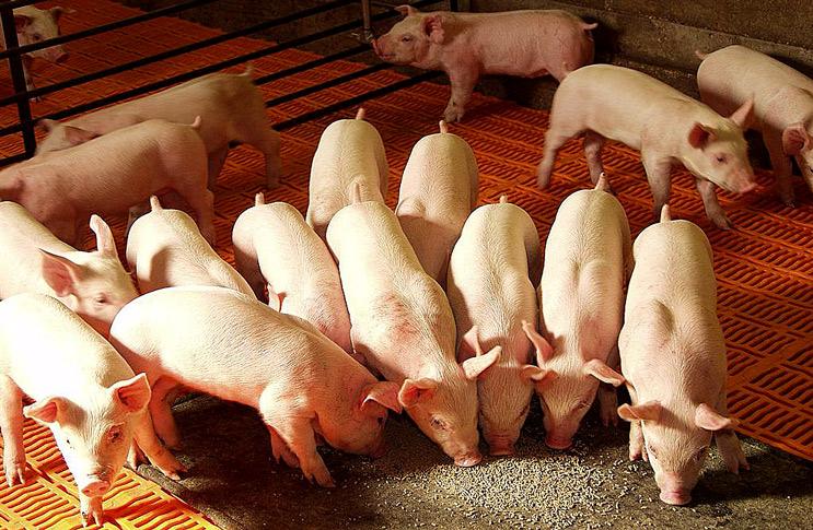 Чем кормить свиней в домашних условиях 106