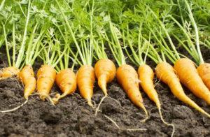 Как выращивать морковь