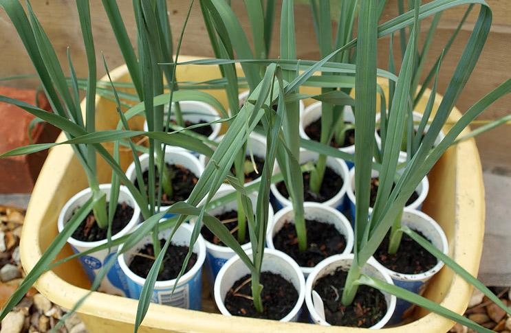 Выращивание лук порея через рассаду 309