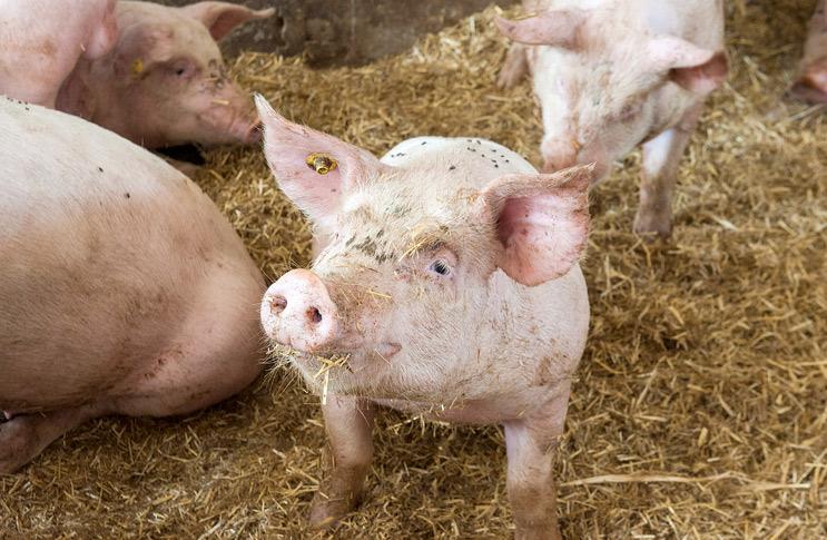 Как правильно откармливать свиней?