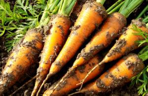 Правила выращивания моркови
