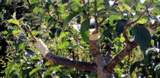 Правила прививки плодовых деревьев