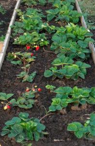 Правильное выращивание земляники