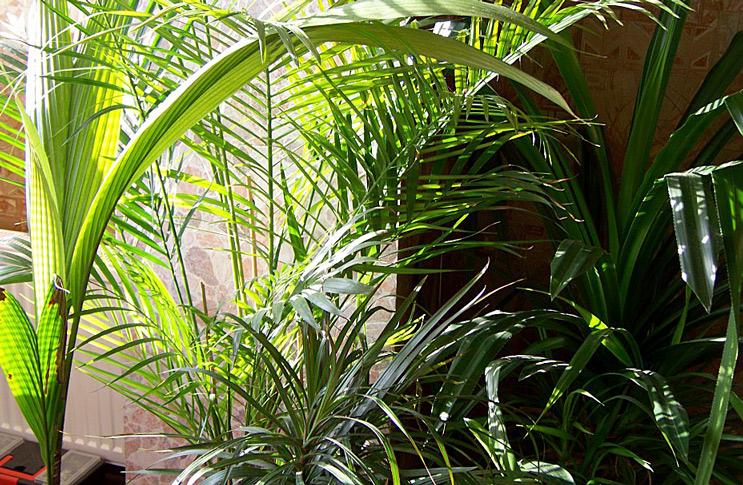 Виды пальм и уход в домашних условиях
