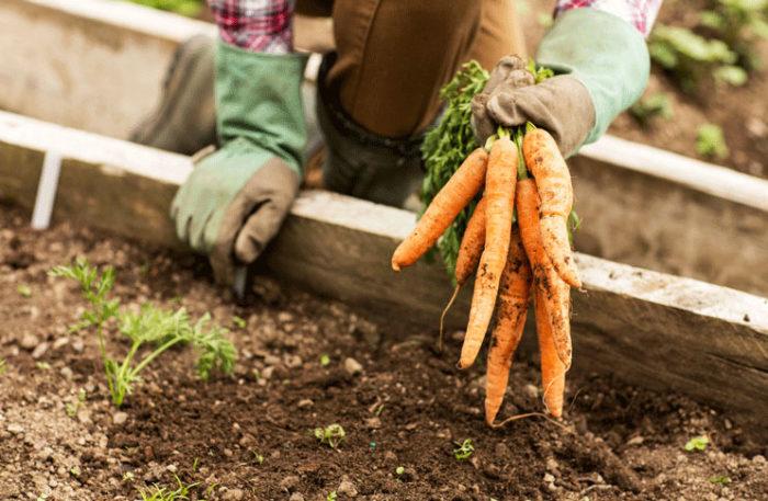 Фермерру выращивание моркови 54