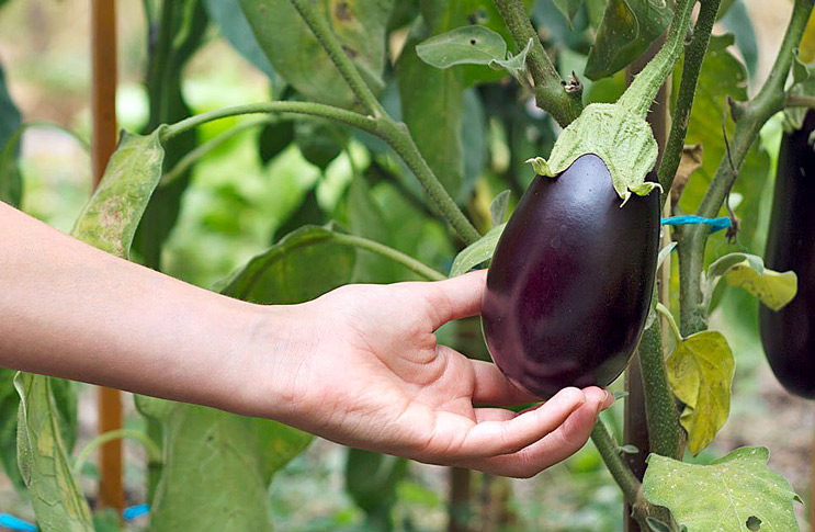 Как правильно вырастить рассаду баклажанов в домашних условиях